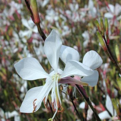 Gaura 'Whirling Butterfly'