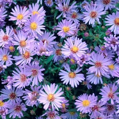 Aster 'Woods Light Blue'