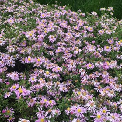 Aster 'Woods Pink'