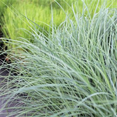 Carex fla. 'Blue Zinger'