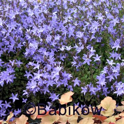 Campanula pos. 'Blue Waterfalls'