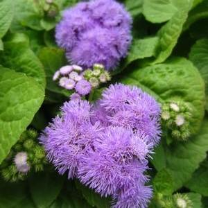 Ageratum Hawaii 5.0 'Blue'