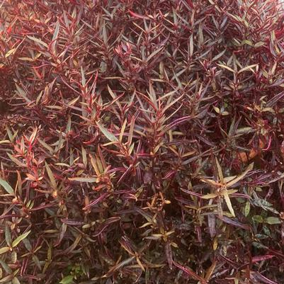 Alternanthera 'Red Thread'