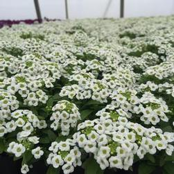 Alyssum Clear Crystal 'White'