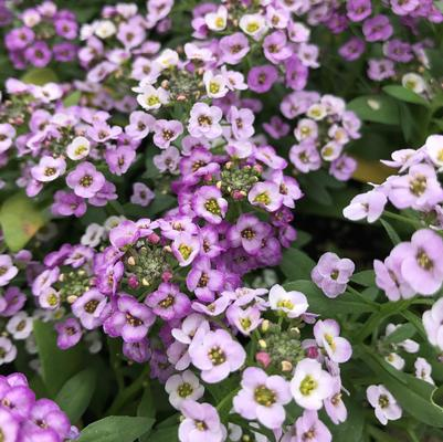 Alyssum Clear Crystal 'Lavender Shades'