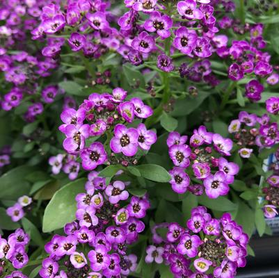 Alyssum Clear Crystal 'Purple Shades'