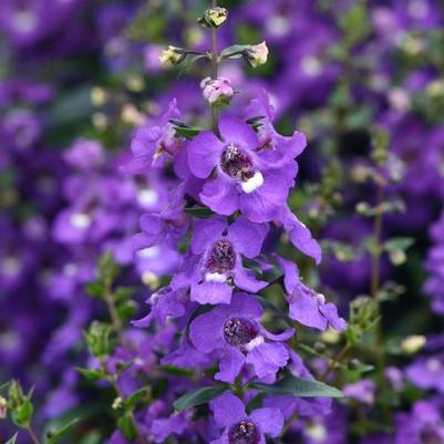 Angelonia Serena 'Blue Improved'