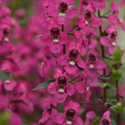 Angelonia Serena 'Rose'