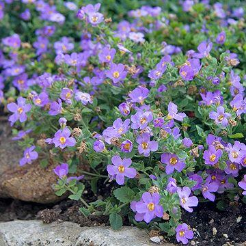 Bacopa Betty 'Dark Blue'