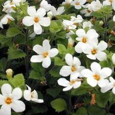 Bacopa Betty 'White'