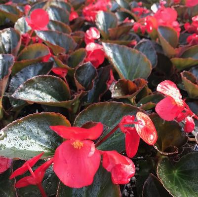 Begonia Big 'Red with Bronze Leaf'