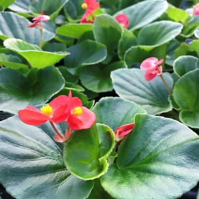 Begonia Super Olympia 'Red'