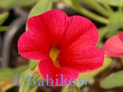 Calibrachoa Kabloom 'Red'
