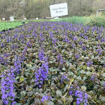 Ajuga 'Bronze Beauty'