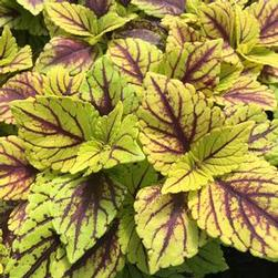 Coleus Sunlover Group 'Gays Delight'