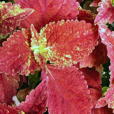 Coleus 'Sunset'