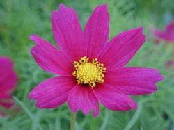 Cosmos Sonata Group 'Carmine'