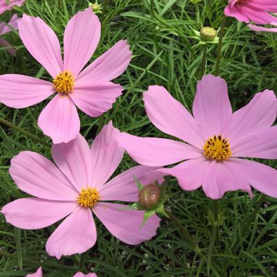 Cosmos Sonata Group 'Pink'