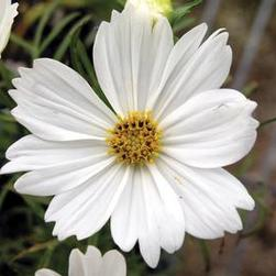 Cosmos Sonata Group 'White'