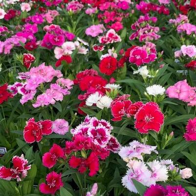 Dianthus 'Ideal Select Mix'