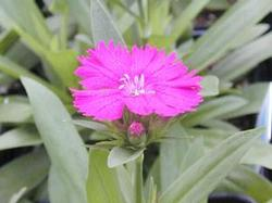 Dianthus Telstar 'Purple'