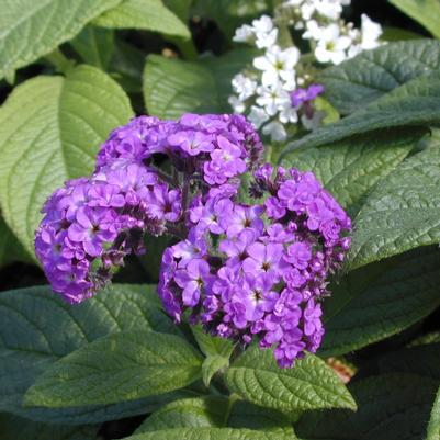 Heliotrope 'Fragrant Delight'