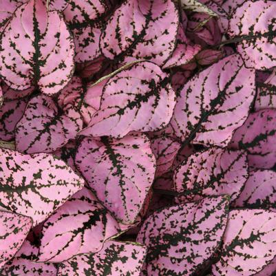 Hypoestes Splash Select 'Pink'