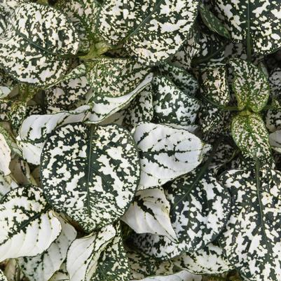 Hypoestes Splash Select White (Polka Dot Plant)
