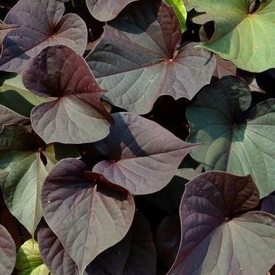 Ipomoea 'Ace of Spades'