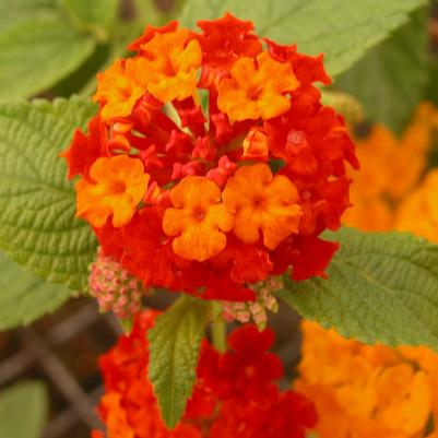 Lantana 'Dallas Red'