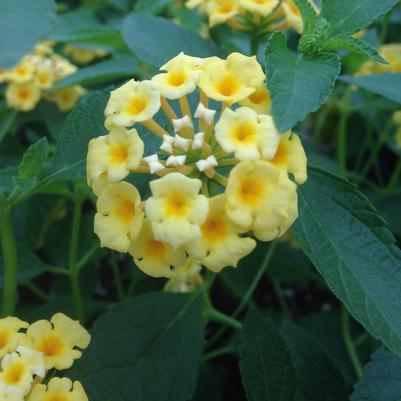 Lantana 'Lemon Drop'