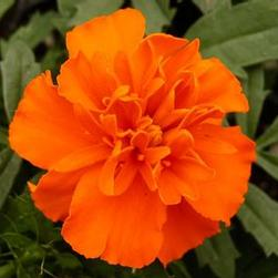 Marigold Janie 'Deep Orange'