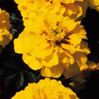 Marigold Janie 'Bright Yellow'