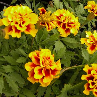 Marigold Safari 'Yellow Fire'