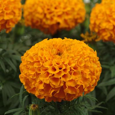 Marigold Taishan 'Orange'