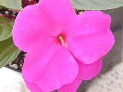 New Guinea Impatiens Sonic Series 'Lilac'