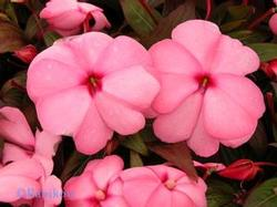 New Guinea Impatiens Sonic Series 'Light Pink'