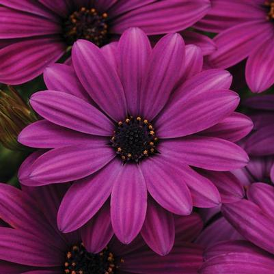 Osteospermum Akila Series 'Purple'
