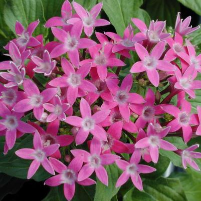 Pentas Butterfly Series 'Deep Pink'