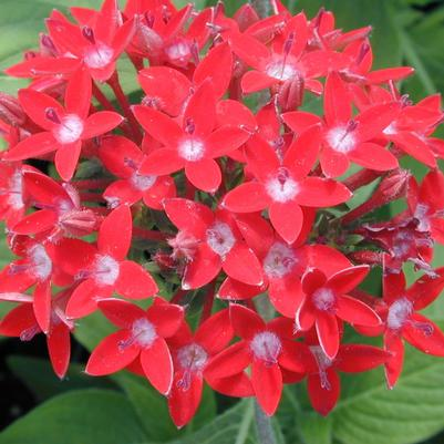 Pentas Butterfly Series 'Red'
