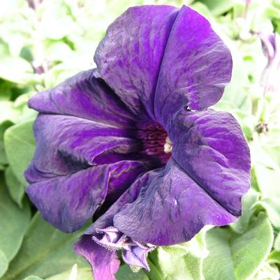 Petunia Dreams 'Midnight'