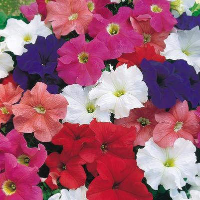 Petunia Dreams 'Mix'