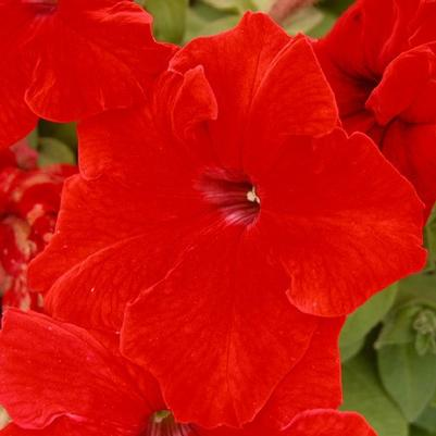 Petunia Dreams 'Red'