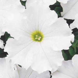 Petunia Dreams 'White'
