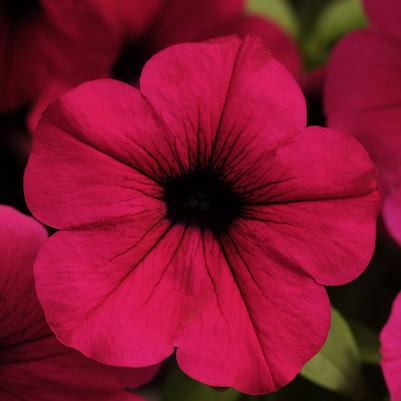 Petunia Wave 'Purple'