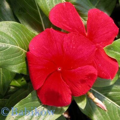 Vinca Titan 'Dark Red'
