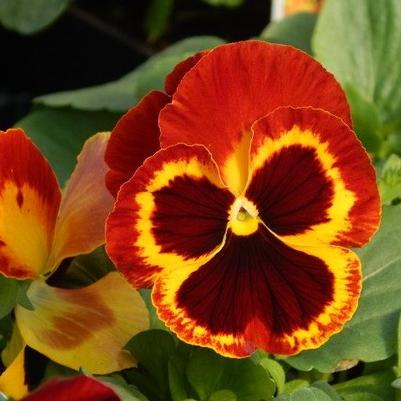 Pansy Delta 'Fire'