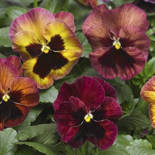 Pansy Delta 'Tapestry'
