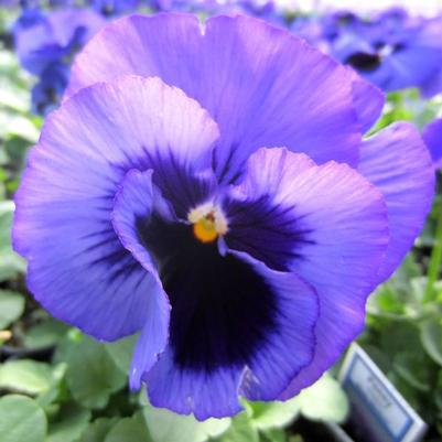 Pansy Matrix 'Blue Blotch'