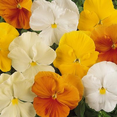 Pansy Matrix 'Citrus Mix'